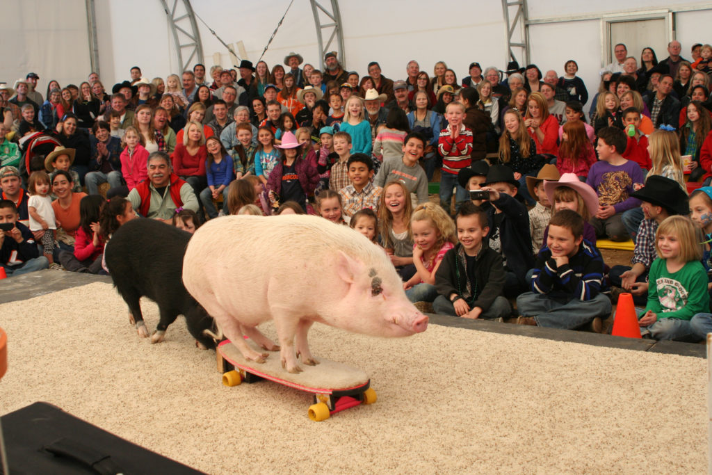 Xtreme pigs always please. (Courtesy Top Hogs of the Wild West/Debbie Vincent)  animals; national western stock show;