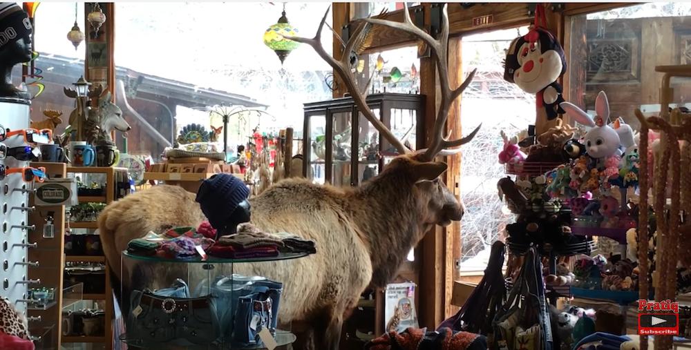 A bull elk hangs out Saturday at Water Wheel Gift Corner in Estes Park. (Screen shot via YouTube)