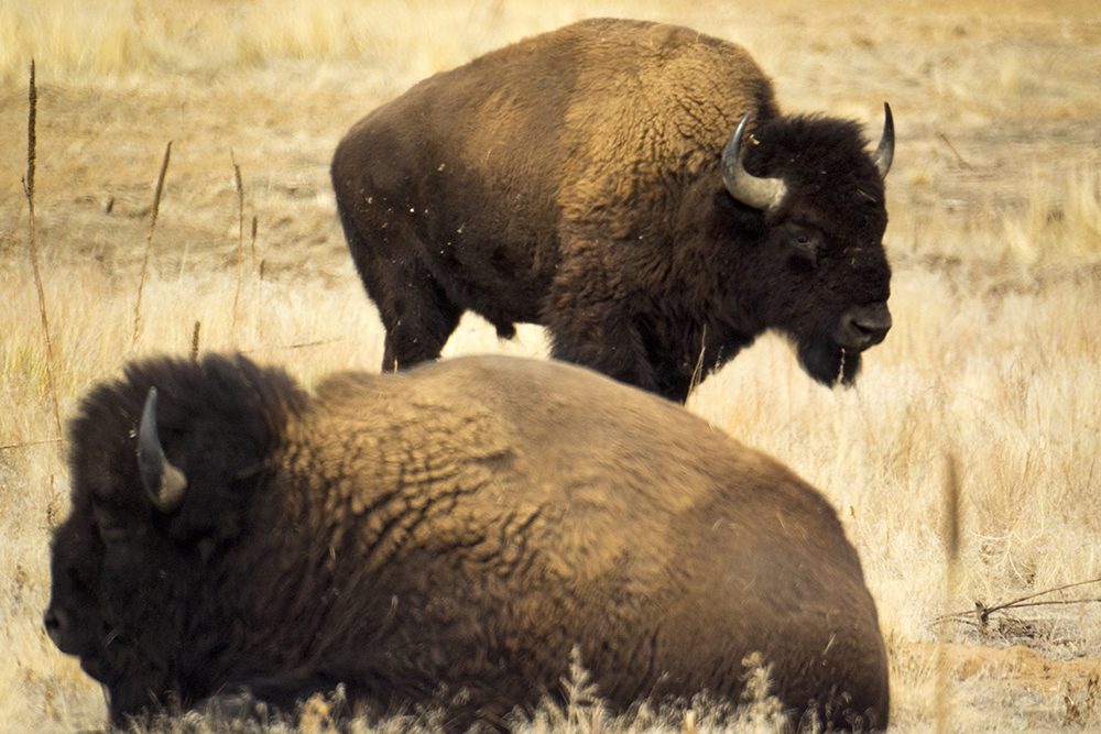 Bison at Rocky Mountain Arsenal, Feb. 12, 2017. (Kevin J. Beaty/Denverite)  rocky mountain arsenal; kevinjbeaty; denver; colorado; denverite; nature; buffalo; bison; animals;