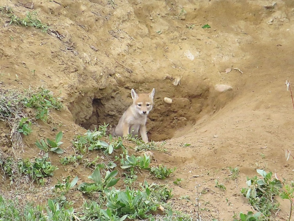 A coyote pup at Metzger Farm Open Space in Westminster. (Jim Kennedy/Flickr under Creative Commons)