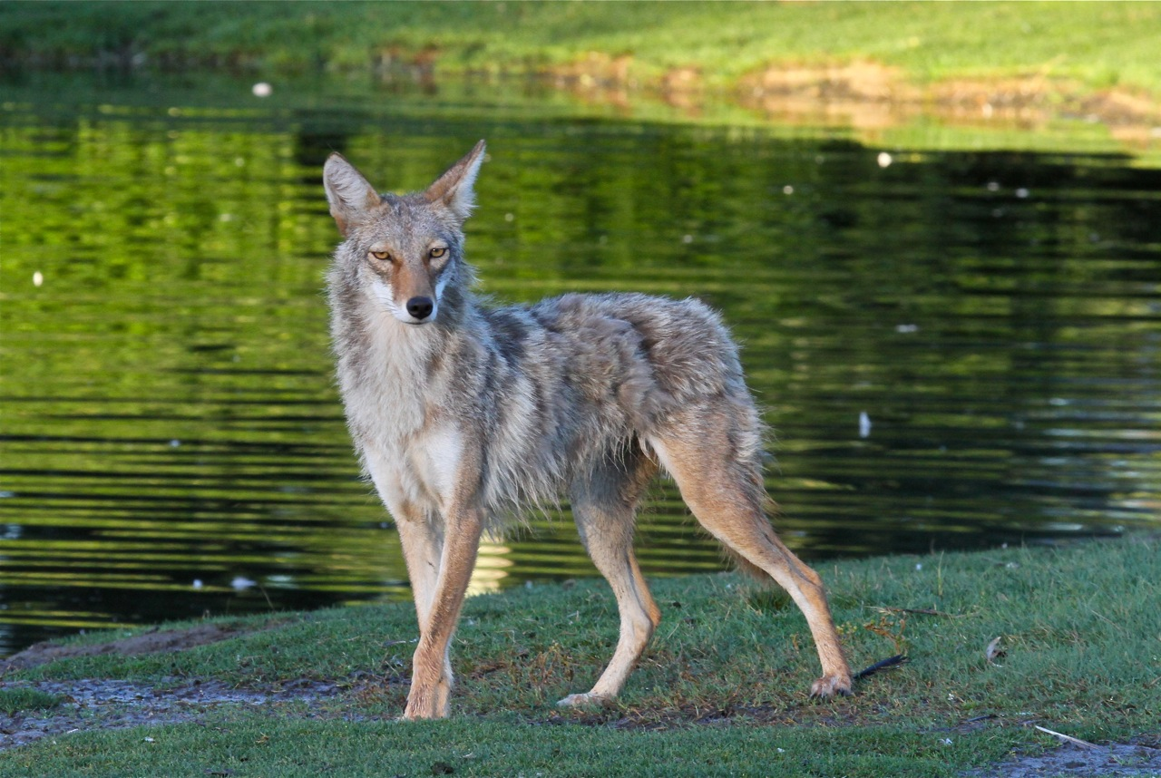 A coyote spotted at City Park in Denver last year. (City of Denver)