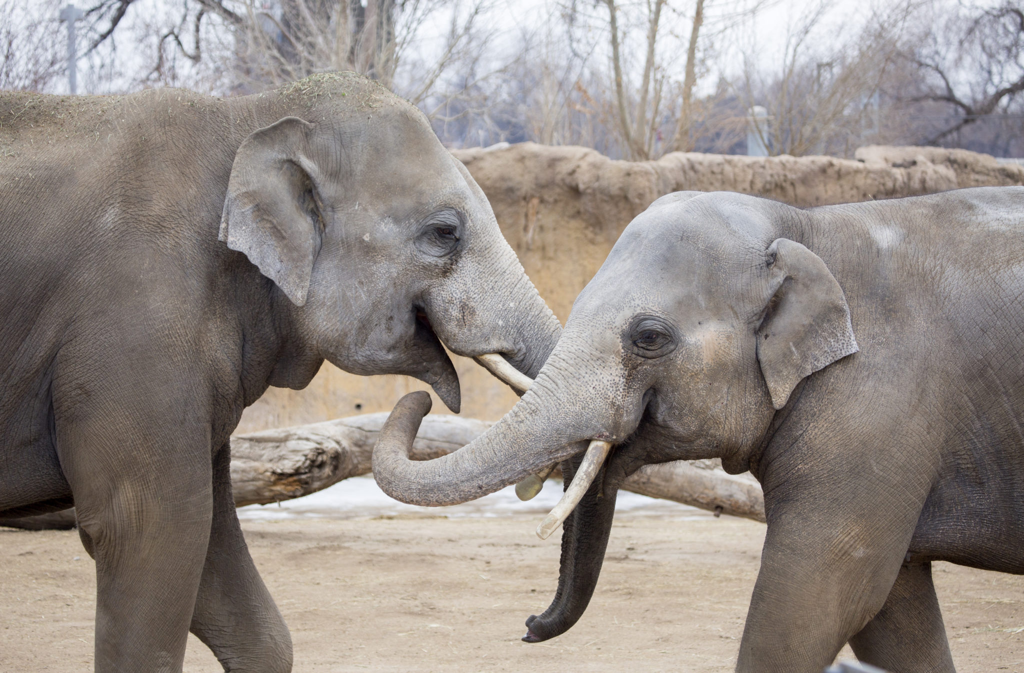 Elephants Bodhi and Billy playfully spar in their yard. (Courtesy of Denver Zoo)