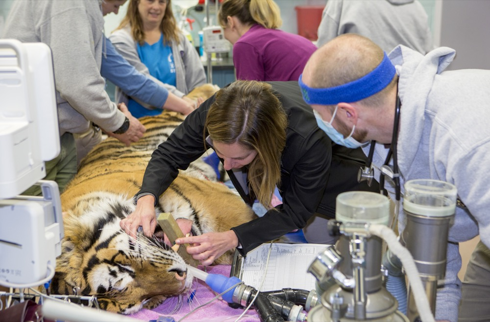 "The Denver Zoo's tiger Nikolai gets a check-up before heading to his new home in ""The Edge"" exhibit. (Courtesy of the Denver Zoo)"