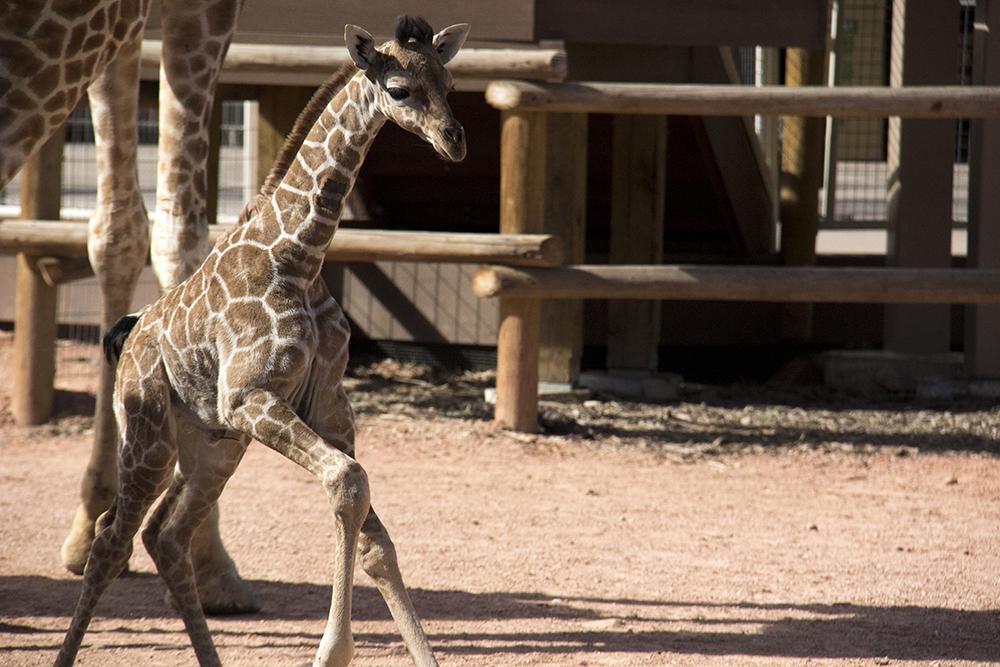 Dobby the adorable baby giraffe at the Denver Zoo. (Kevin J. Beaty/Denverite)  giraffe; denver zoo; animals; kevinjbeaty; denverite; colorado; kevinjbeaty;