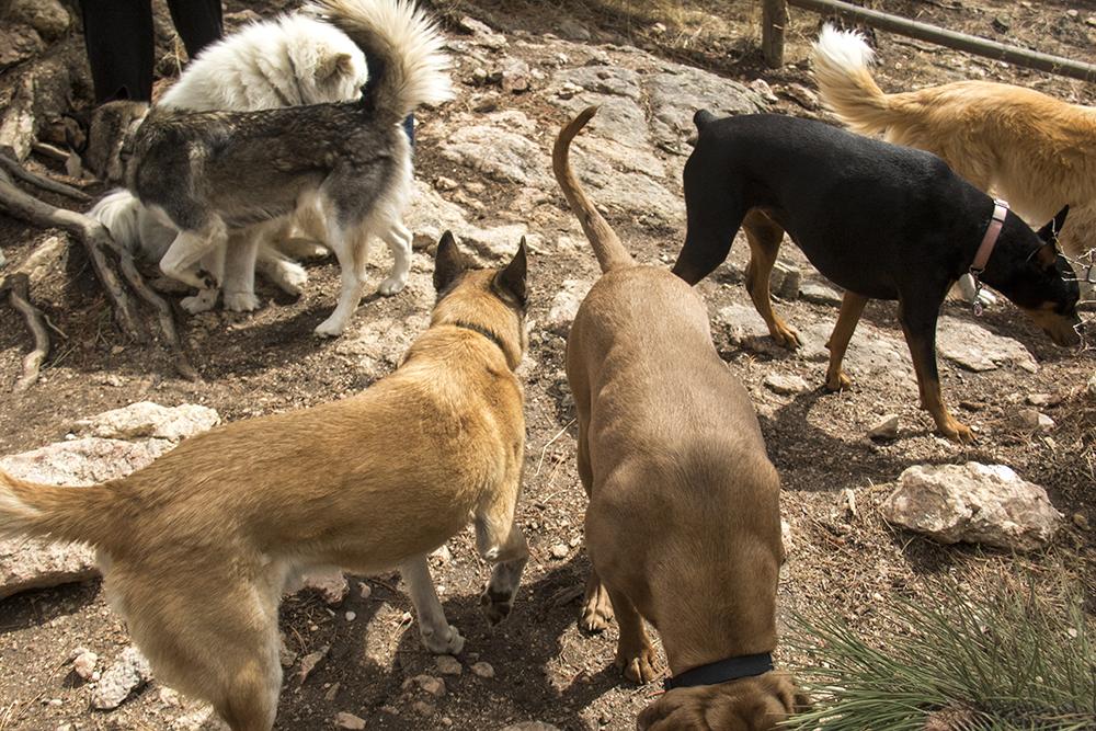 Dogs at play at Elk Meadow Dog Park, March 30, 2017. (Kevin J. Beaty/Denverite)  elk meadow dog park; evergreen; colorado; kevinjbeaty; parks; denverite;