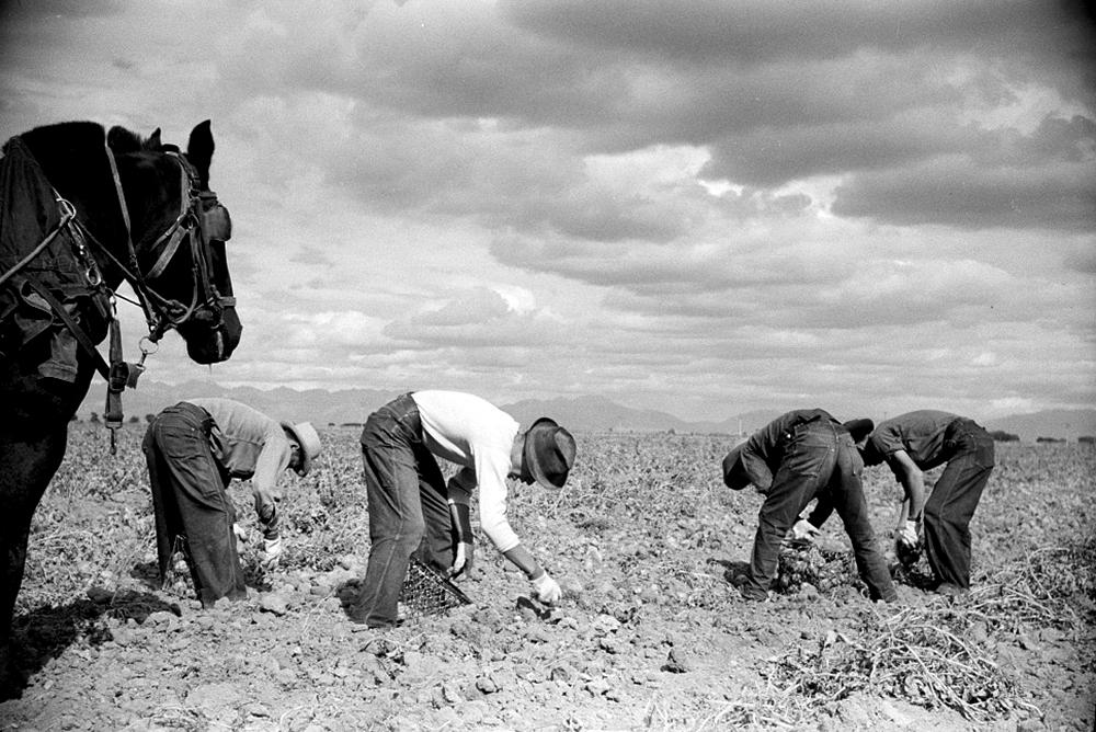 Picking potatoes, Rio Grande County, Colorado, Oct. 1939. (Arthur Rothstein/Library of Congress/LC-USF33-003365)