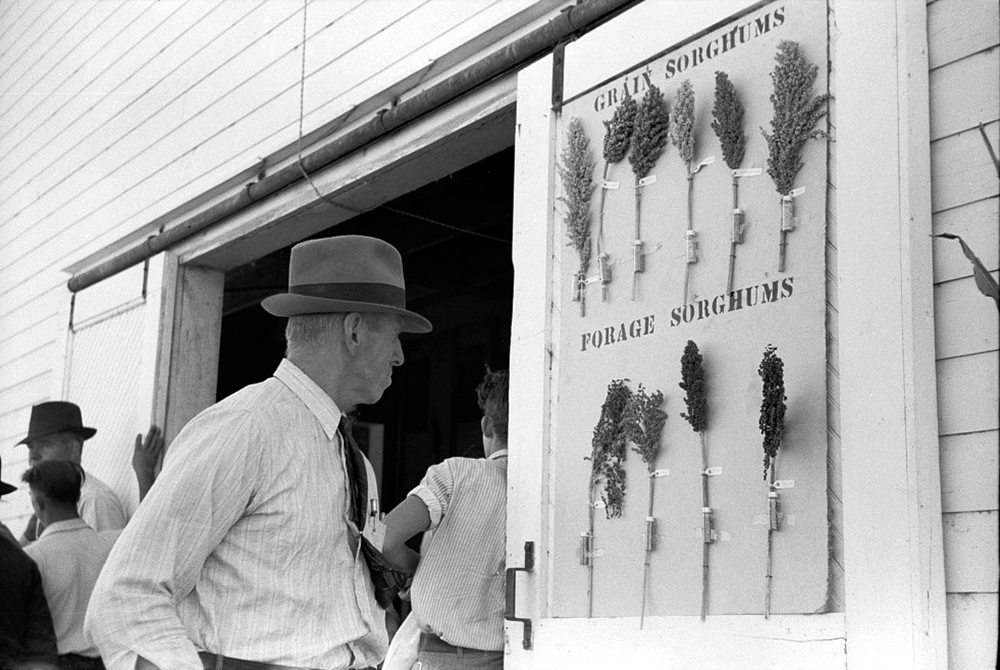 Akron (vicinity), Colorado, U.S. Dry Land Experiment Station. Farmer looking at sorghum exhibit, Oct. 1939. (Arthur Rothstein/Library of Congress/LC-USF33-003375)