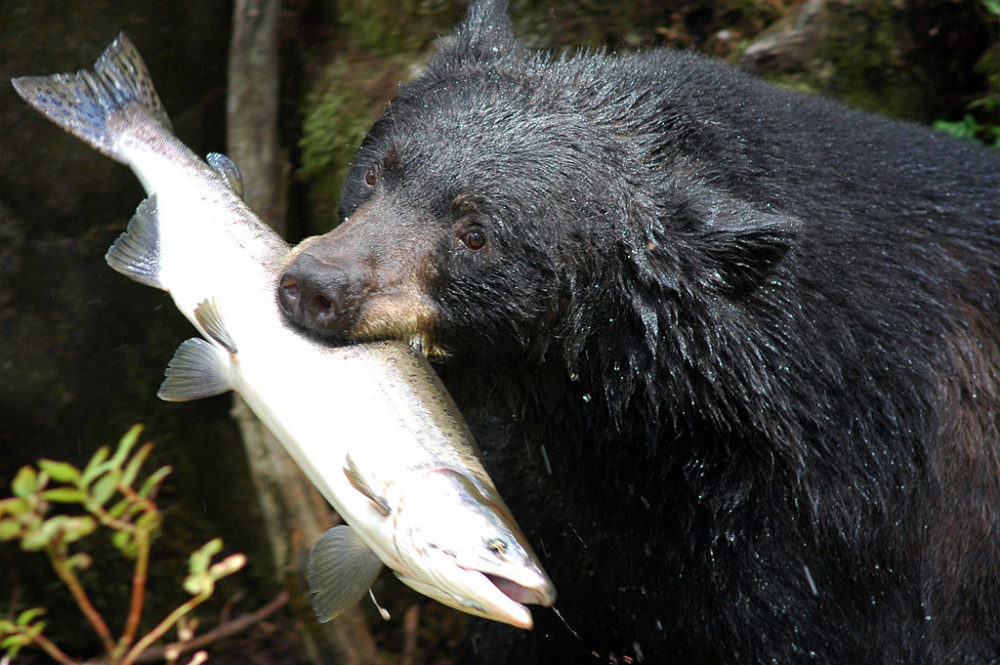 Black bear with snack. (Wikimedia Commons/CC)