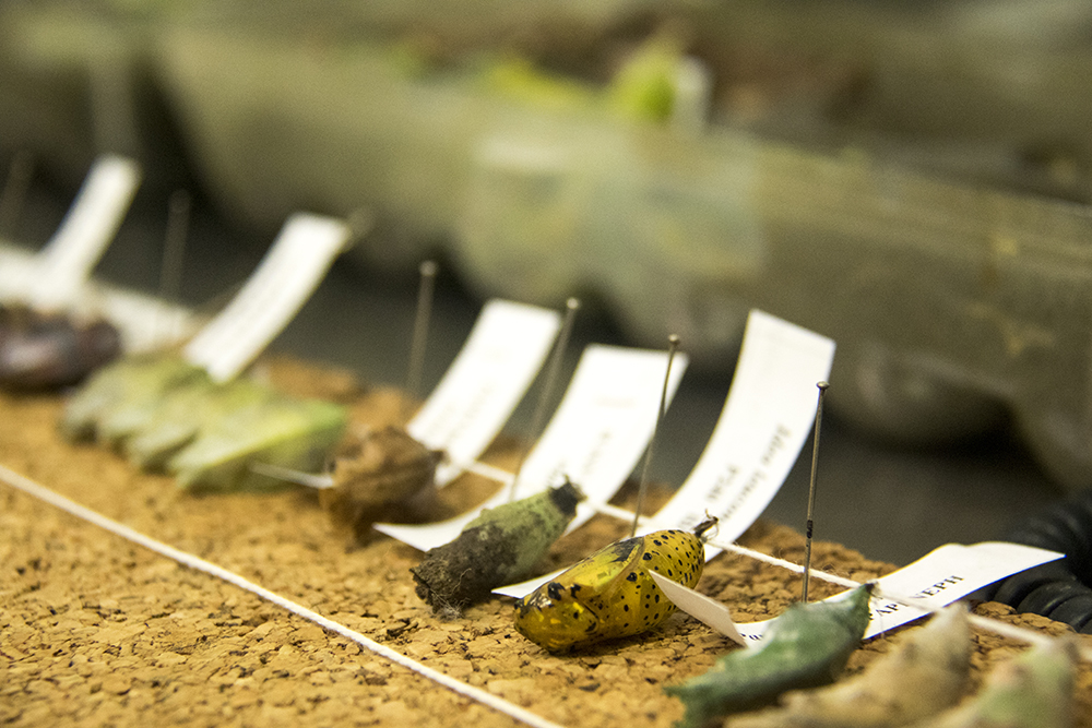 Freshly-delivered chrysalises that are soon to hatch inside the Butterfly Pavilion in Westminster, April 6, 2017. (Kevin J. Beaty/Denverite)  butterfly pavilion; bugs; animals; insects; science; environment; kevinjbeaty; denverite; colorado; denver;