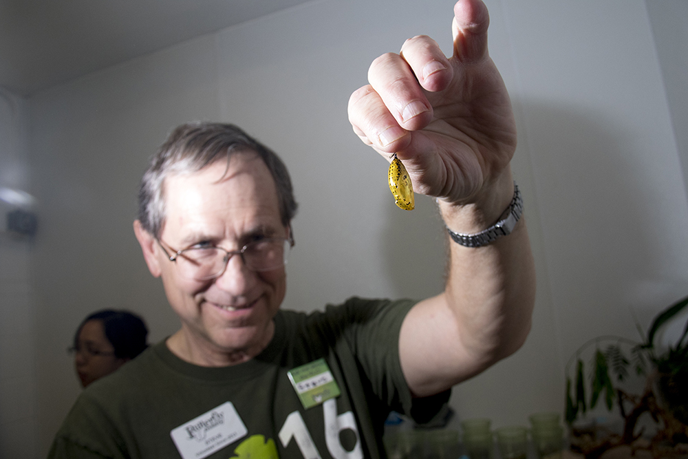 Longtime volunteer Steve Chady holds a newly-arrived chrysalis at the Butterfly Pavilion in Westminster, April 6, 2017. (Kevin J. Beaty/Denverite)  butterfly pavilion; bugs; animals; insects; science; environment; kevinjbeaty; denverite; colorado; denver;