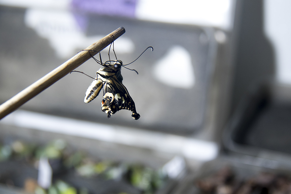 Newly-hatched butterflies hang out in a volunteer area before they're released into the general population inside the Butterfly Pavilion in Westminster, April 6, 2017. (Kevin J. Beaty/Denverite)  butterfly pavilion; bugs; animals; insects; science; environment; kevinjbeaty; denverite; colorado; denver;