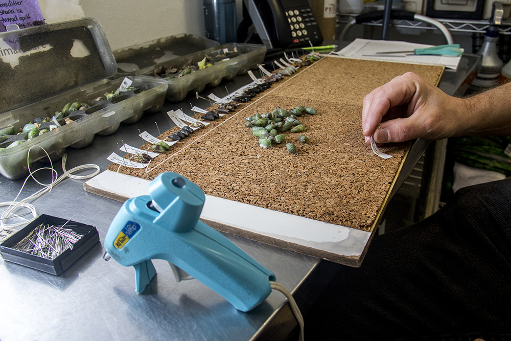 Volunteers use hot glue to fasten new chrysalises to corkboards before they hatch. Inside the Butterfly Pavilion in Westminster, April 6, 2017. (Kevin J. Beaty/Denverite)butterfly pavilion; bugs; animals; insects; science; environment; kevinjbeaty; denverite; colorado; denver;