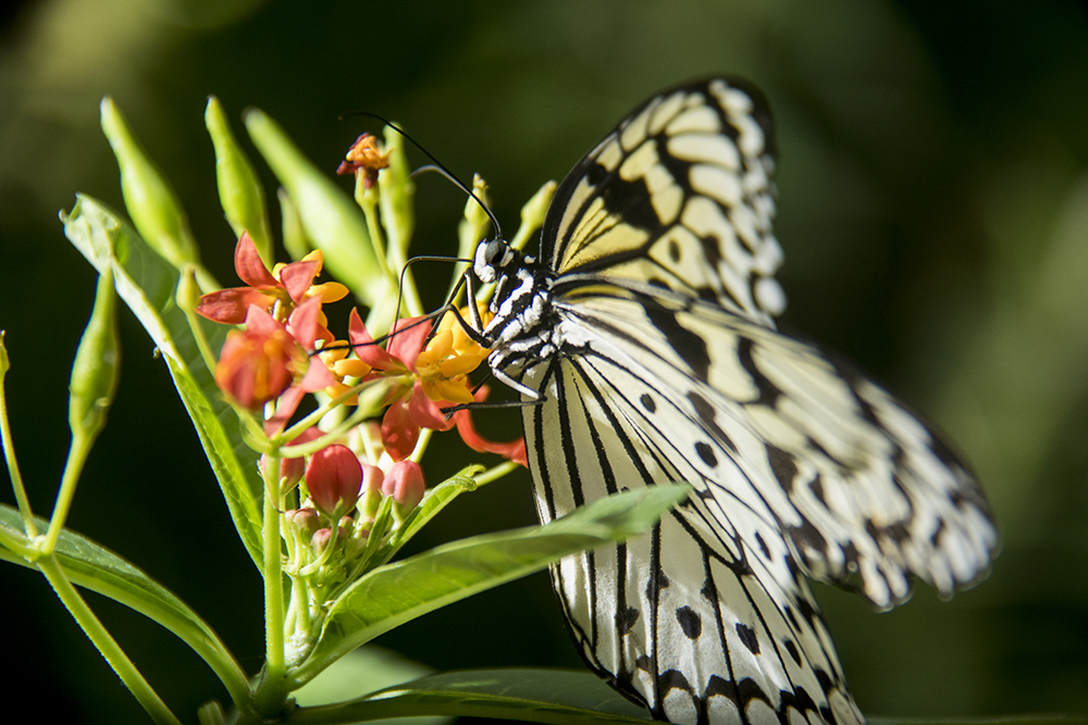 Butterflies flutter by inside the Butterfly Pavilion in Westminster, April 6, 2017. (Kevin J. Beaty/Denverite)  butterfly pavilion; bugs; animals; insects; science; environment; kevinjbeaty; denverite; colorado; denver;