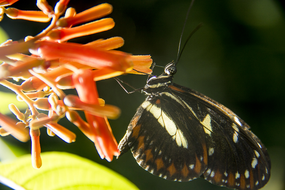 A butterfly extracts pollen from a flower inside the Butterfly Pavilion in Westminster, April 6, 2017. (Kevin J. Beaty/Denverite)  butterfly pavilion; bugs; animals; insects; science; environment; kevinjbeaty; denverite; colorado; denver;