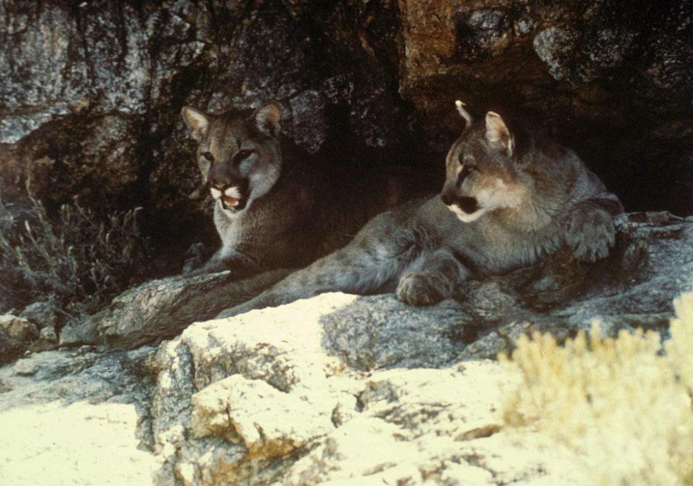 Mountain lions. (USFWS)