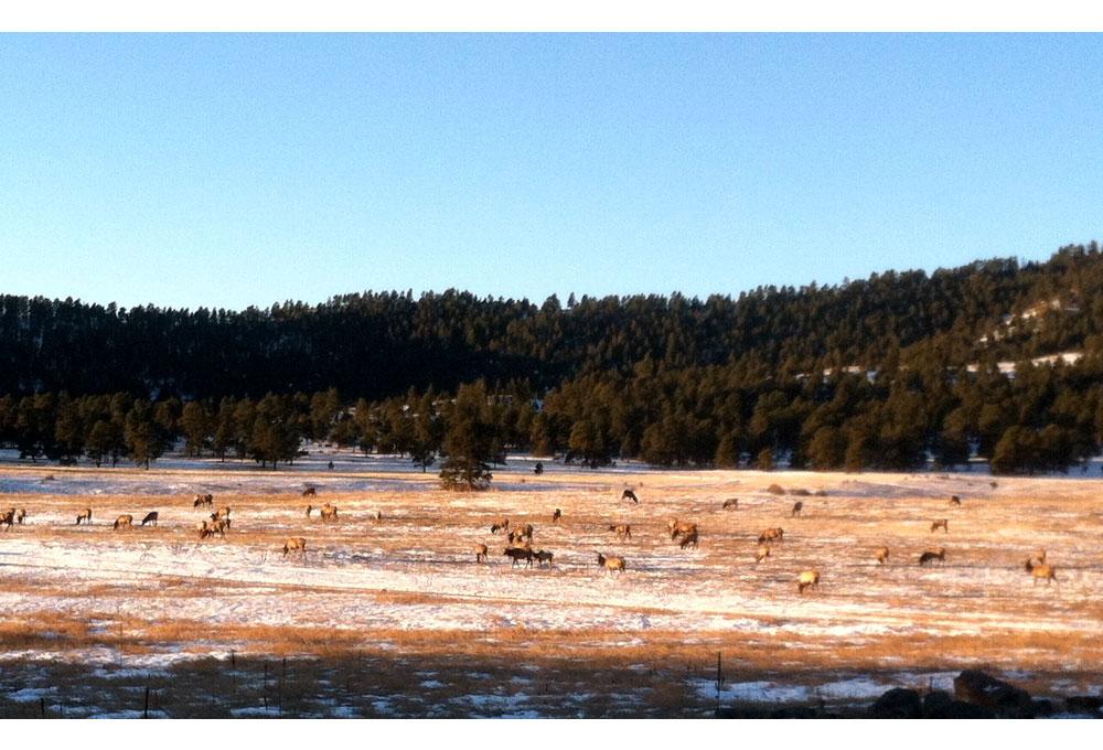 Elk at Elk Meadow. (Jefferson County Open Space)