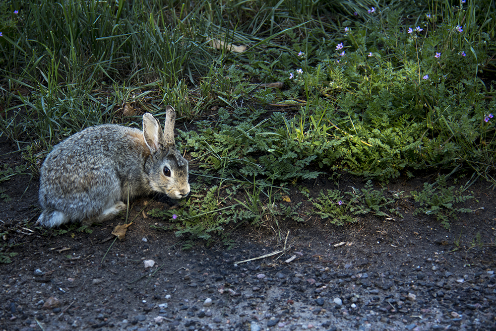 A little fuzzball in the Hilltop neighborhood. (Kevin J. Beaty/Denverite)  animals; urban bunnies; rabbit; wildlife;
