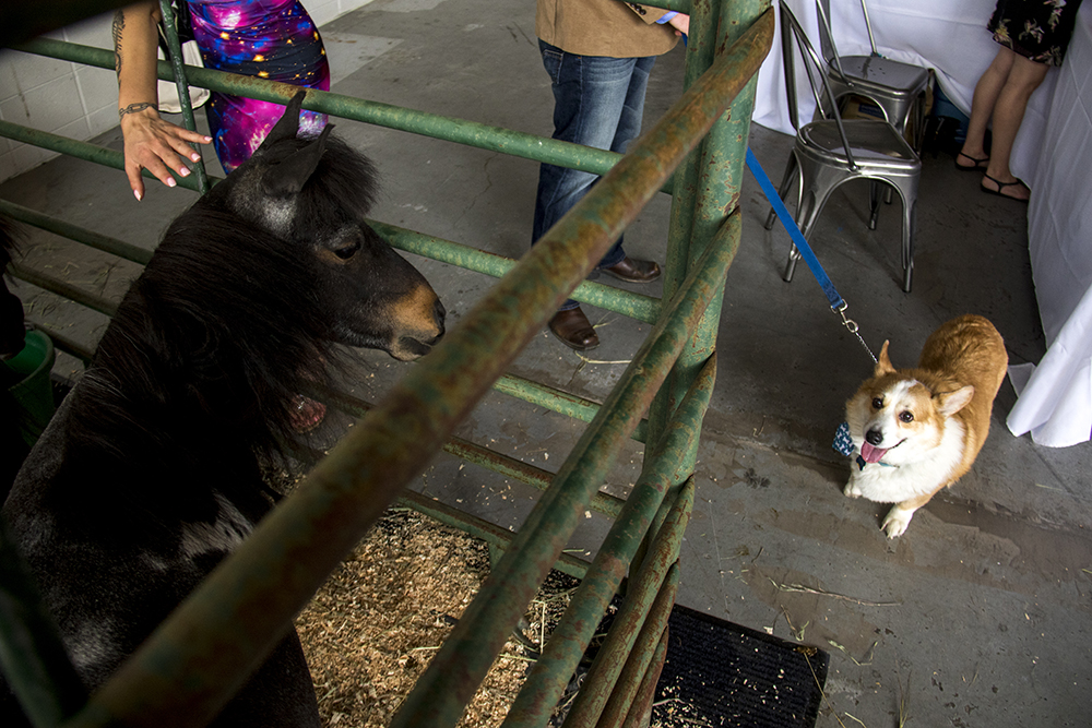 Nerbie meets a mini horse. A Kentucky Derby party at Stanley Marketplace, May 6, 2017. (Kevin J. Beaty/Denverite)  stanley marketplace; kentucky derby; aurora; kevinjbeaty; denverite; colorado; dogs; pets; animals;