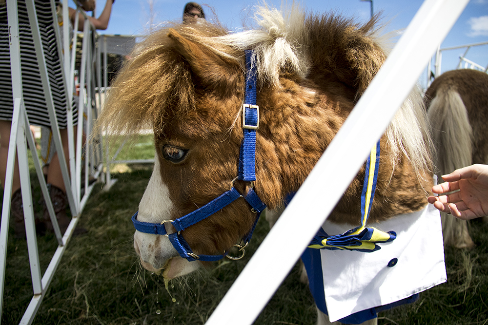 A mini horse slakes his thirst. A Kentucky Derby party at Stanley Marketplace, May 6, 2017. (Kevin J. Beaty/Denverite)  stanley marketplace; kentucky derby; aurora; kevinjbeaty; denverite; colorado; mini horse; animals;