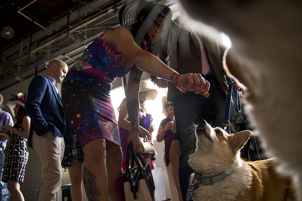 Nerbie zeroes in on a treat. A Kentucky Derby party at Stanley Marketplace, May 6, 2017. (Kevin J. Beaty/Denverite)  stanley marketplace; kentucky derby; aurora; kevinjbeaty; denverite; colorado; dogs; pets; animals;