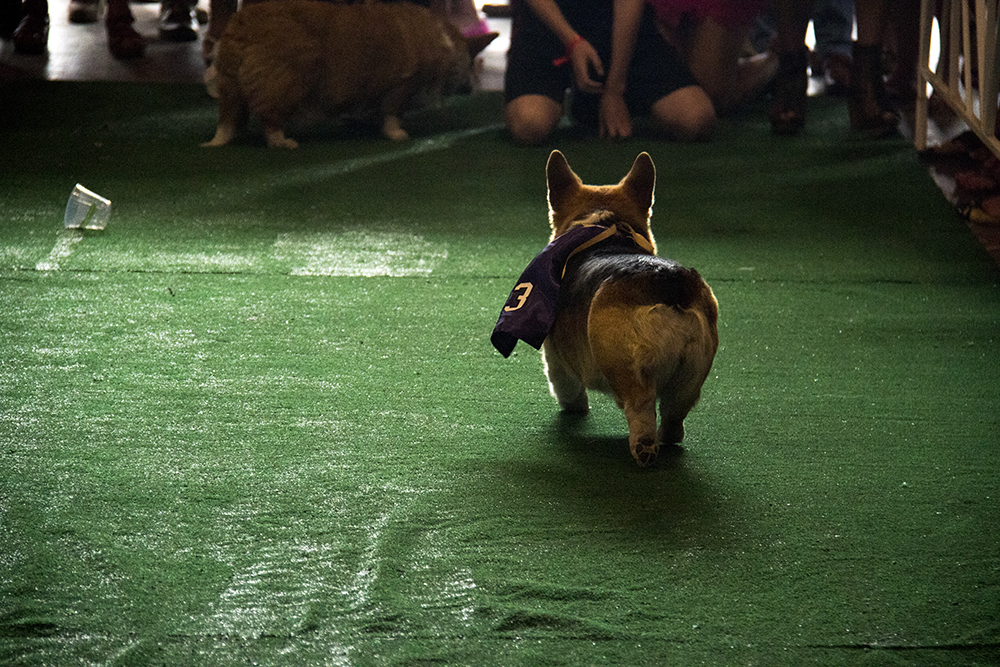One Corhi might be noncommittal about winning the race. A Kentucky Derby party at Stanley Marketplace, May 6, 2017. (Kevin J. Beaty/Denverite)  stanley marketplace; kentucky derby; aurora; kevinjbeaty; denverite; colorado; dogs; pets; animals;