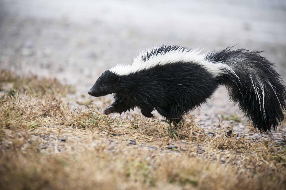 A skunk. (U.S. Fish and Wildlife Service/Flickr)