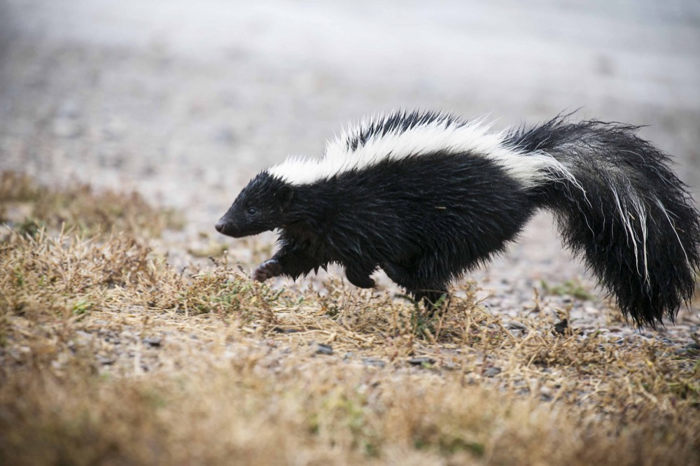 A skunk. (U.S. Fish and Wildlife Service/Flickr)