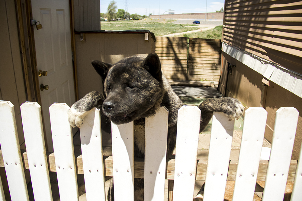Cubo hangs out on a white picket fence. Denver Meadows RV Park, May 15, 2017. (Kevin J. Beaty/Denverite)  aurora; denver meadows; mobile home park; kevinjbeaty; denverite; colorado; dogs; pets; animals;