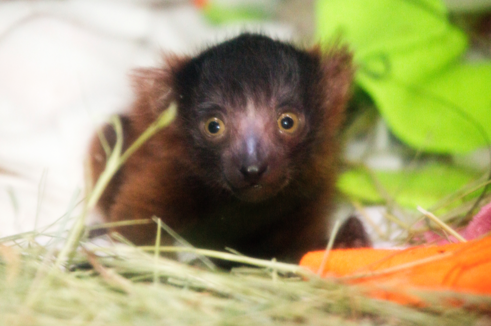 Penny, a red-ruffed lemur, will surely grow into her face. (Courtesy Denver Zoo)