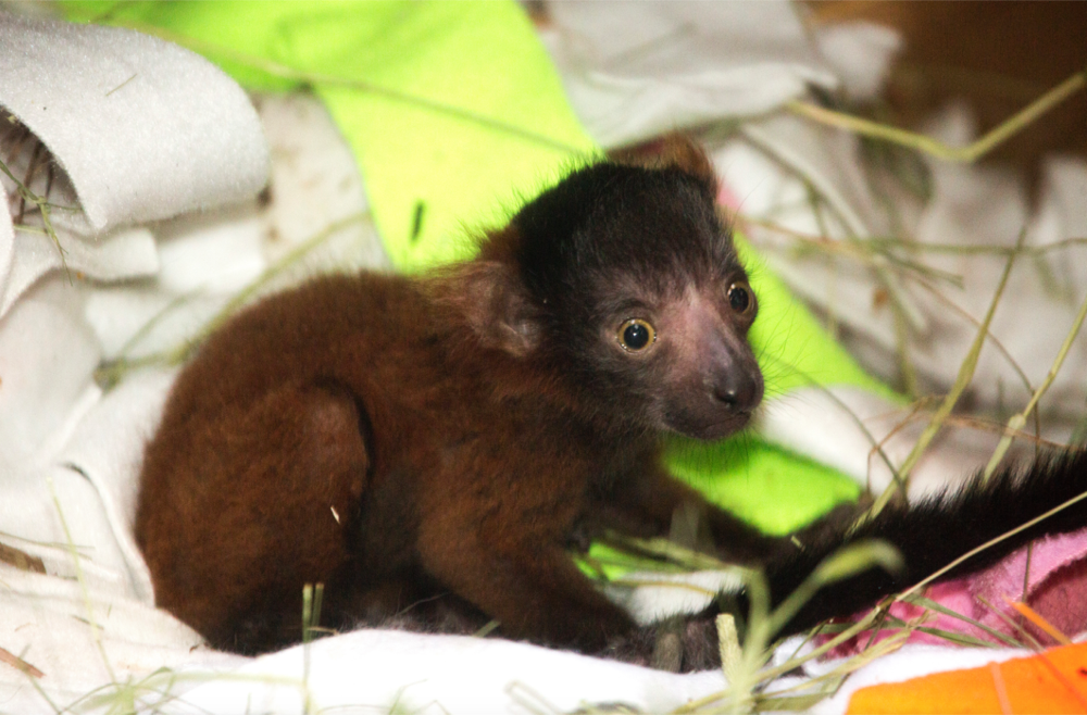 Penny, a female red-ruffed lemur, was born at the Denver Zoo on April 25, 2017. (Courtesy Denver Zoo)