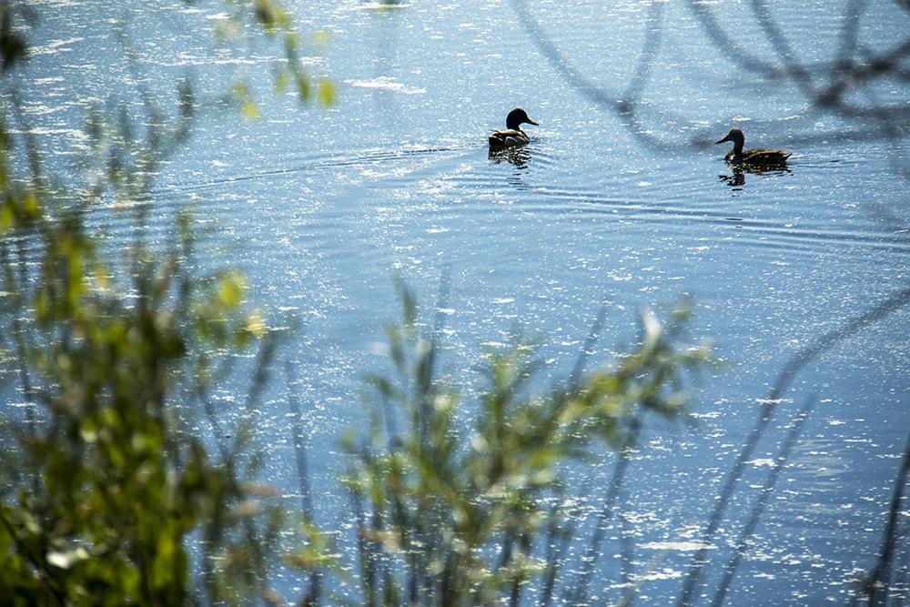 Ducks in Parkfield Lake near the Montbello Recreation Center. (Kevin J. Beaty/Denverite)  animals; montbello; denver; denverite; colorado; kevinjbeaty;