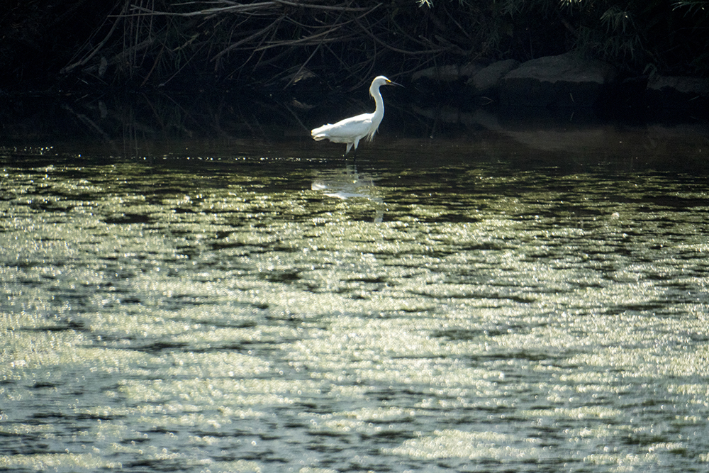 A snowy egret fishes in the South Platte. In the field with Denver's City Naturalist, Fishback Landing Park, July 7, 2017. (Kevin J. Beaty/Denverite)  south platte river; science; ecosystem; environment; kevinjbeaty; denverite; coloradol denver; riparian zone;