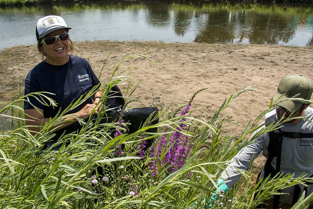 Denver city naturalist Kelly Uhing on patrol for Purple loosestrife, a list-A noxious weed and invasive species. Fishback Landing Park, July 7, 2017. (Kevin J. Beaty/Denverite)  south platte river; science; ecosystem; environment; kevinjbeaty; denverite; coloradol denver; riparian zone;