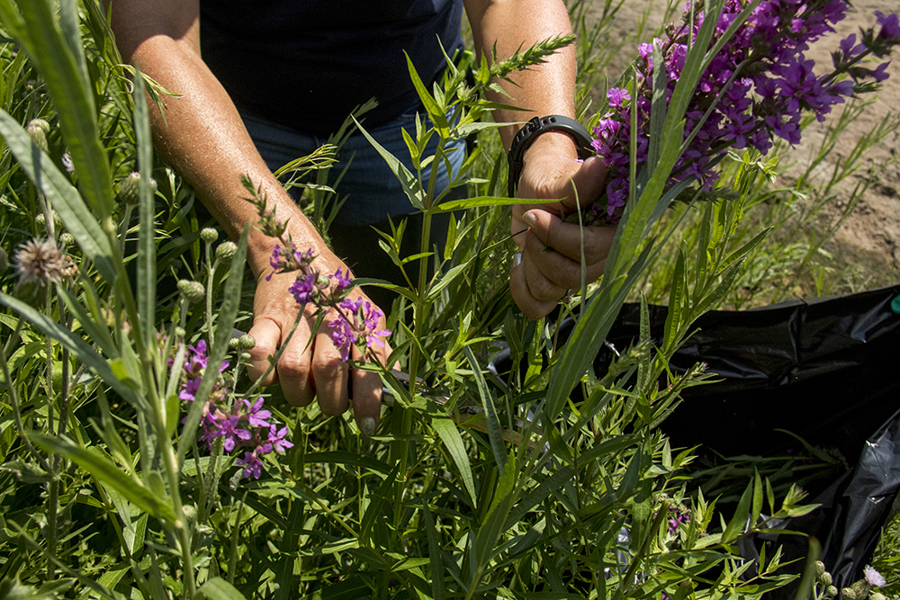 Denver city naturalist Kelly Uhing cuts a seed-filled Purple loosestrife flower, a list-A noxious weed and invasive species. Fishback Landing Park, July 7, 2017. (Kevin J. Beaty/Denverite)  south platte river; science; ecosystem; environment; kevinjbeaty; denverite; coloradol denver; riparian zone;
