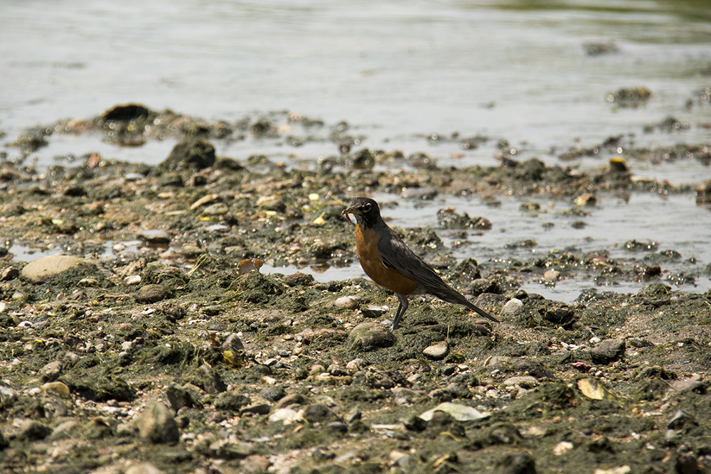 A robin digs around for worms. In the field with Denver's City Naturalist, Fishback Landing Park, July 7, 2017. (Kevin J. Beaty/Denverite)  south platte river; science; ecosystem; environment; kevinjbeaty; denverite; coloradol denver; riparian zone;
