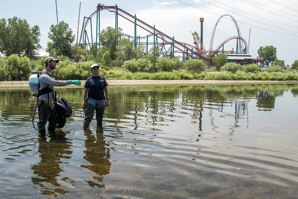 Denver city naturalist Kelly Uhing and specialist Scott Bartell on patrol for Purple loosestrife, a list-A noxious weed and invasive species. Fishback Landing Park, July 7, 2017. (Kevin J. Beaty/Denverite)  south platte river; science; ecosystem; environment; kevinjbeaty; denverite; coloradol denver; riparian zone;