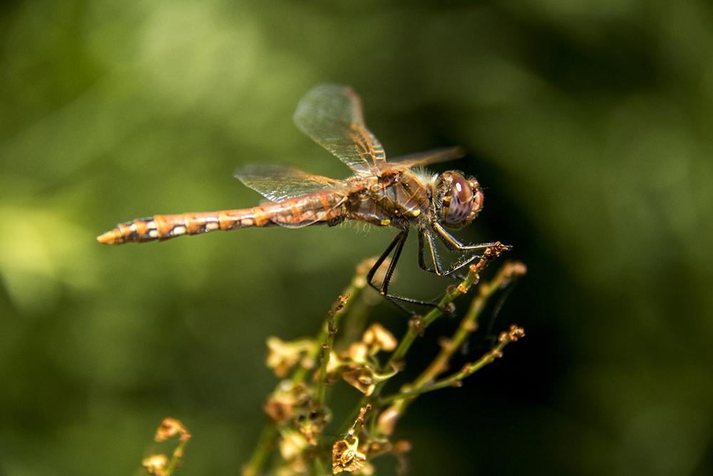 A dragonfly perched on a plant. In the field with Denver's City Naturalist, Fishback Landing Park, July 7, 2017. (Kevin J. Beaty/Denverite)  south platte river; science; ecosystem; environment; kevinjbeaty; denverite; coloradol denver; riparian zone;