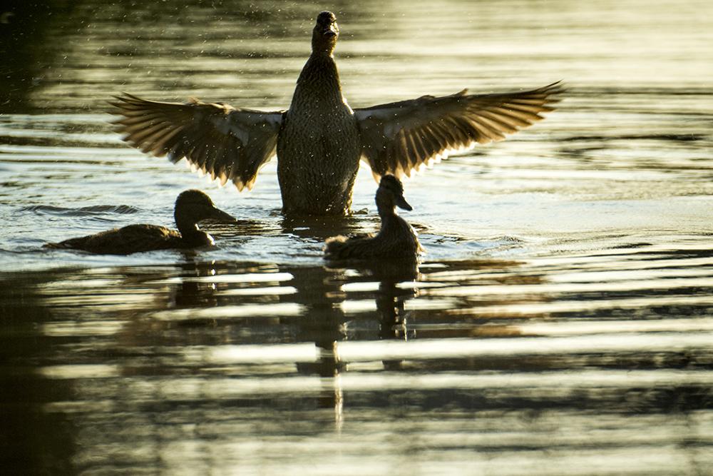 Ducks go for a morning swim in the South Platte River. (Kevin J. Beaty/Denverite)  south platte river; environment; ecology; denver; denverite; kevinjbeaty;