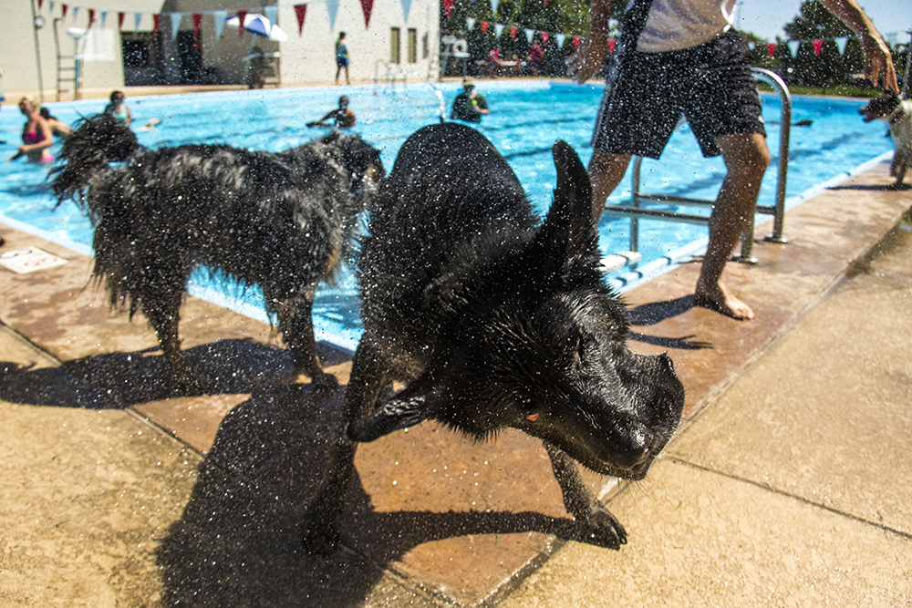 Hatch dries off. Dog-a-Pool-ooza at Cook Park Pool, Aug. 13, 2017. (Kevin J. Beaty/Denverite)  public pool; dogs; pets; Dog-a-Pool-ooza; cook park; denverite; colorado; kevinjbeaty; denver;