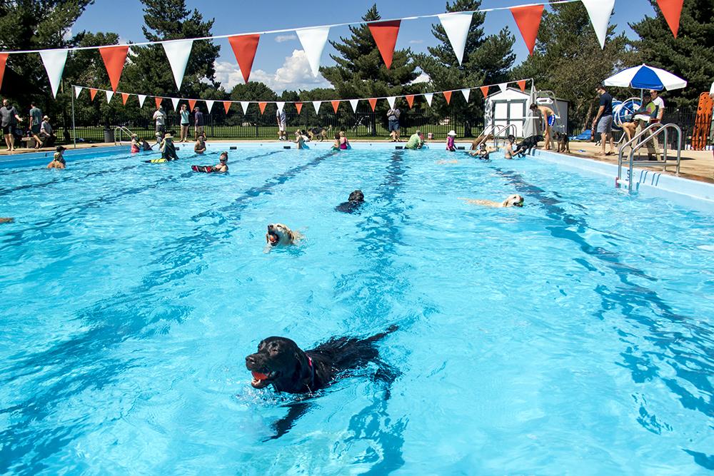 Lilu retrieves a ball. Dog-a-Pool-ooza at Cook Park Pool, Aug. 13, 2017. (Kevin J. Beaty/Denverite)  public pool; dogs; pets; Dog-a-Pool-ooza; cook park; denverite; colorado; kevinjbeaty; denver;