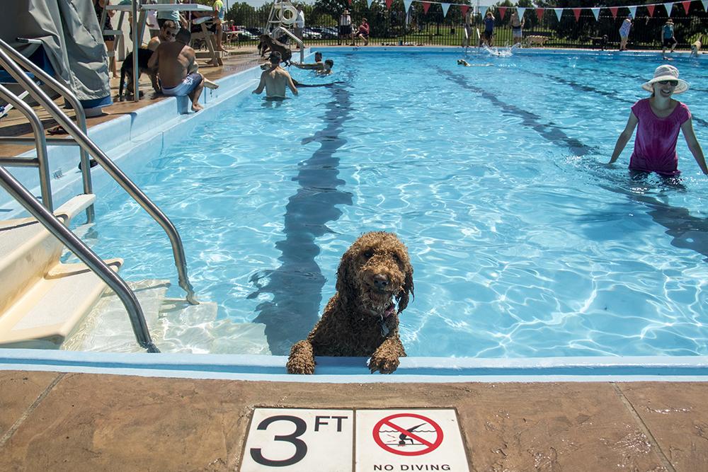 Yattle enjoys the pool. Dog-a-Pool-ooza at Cook Park Pool, Aug. 13, 2017. (Kevin J. Beaty/Denverite)  public pool; dogs; pets; Dog-a-Pool-ooza; cook park; denverite; colorado; kevinjbeaty; denver;
