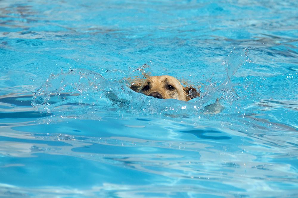 Dog-a-Pool-ooza at Cook Park Pool, Aug. 13, 2017. (Kevin J. Beaty/Denverite)