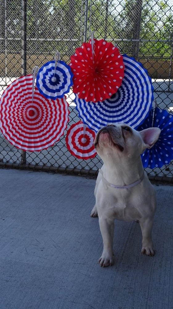 A French bulldog up for adoption in Denver. (Denver Environmental Health)