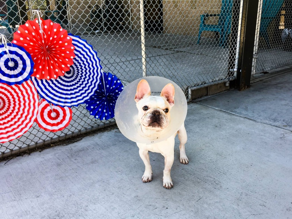 A French bulldog up for adoption in Denver. (Denver Environmental Health)