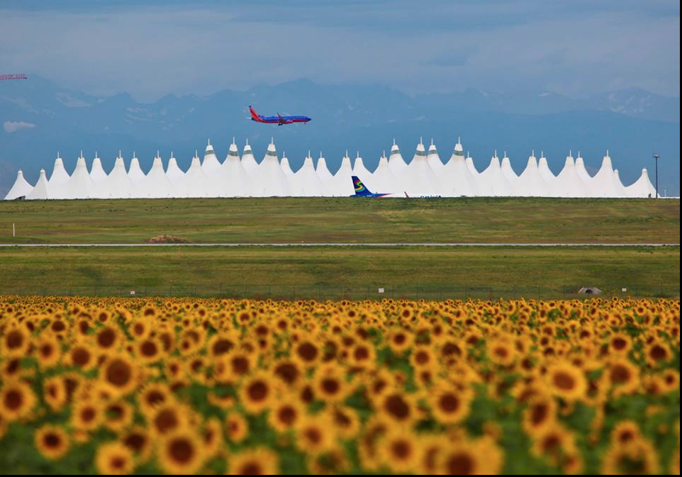Sunflowers in full bloom near Denver International Airport in 2014. (Courtesy Denver International Airport)