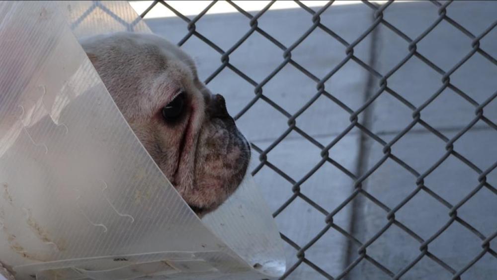 A French bulldog confiscated in Denver. (Denver Environmental Health)