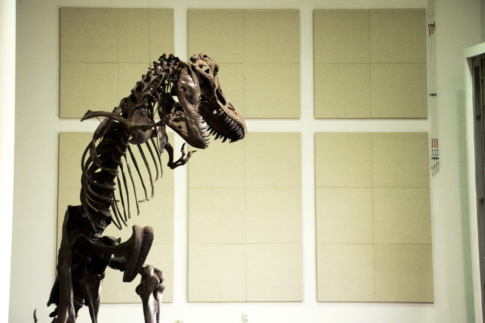 A mighty T-Rex in the entrance to the Denver Museum of Nature and Science, Sept. 1, 2017. (Kevin J. Beaty/Denverite)  denver museum of nature and science; dmns; science; dinosaurs; fossils; kevinjbeaty; denverite; colorado; denver;