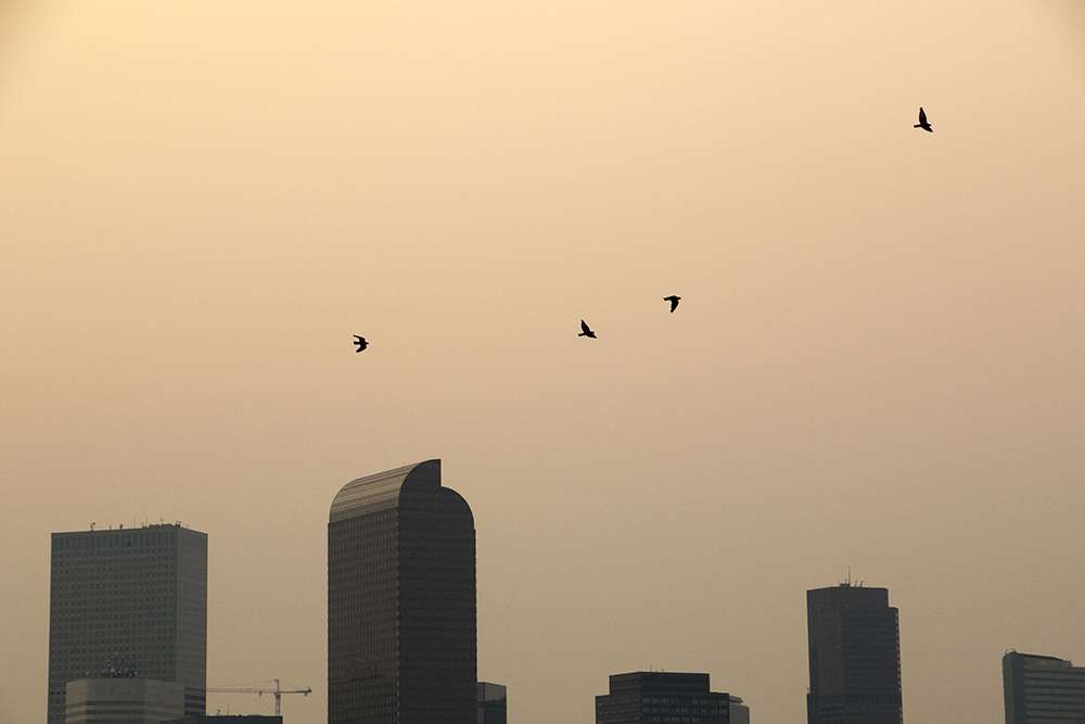 Birds fly over the city as smoke from western wildfires envelops Denver, Sept. 4, 2017. (Kevin J. Beaty/Denverite)