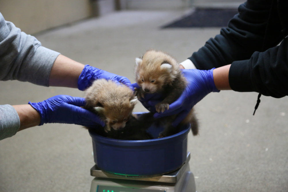 The Denver Zoo's new baby red pandas weigh in. (Courtesy of Denver Zoo)