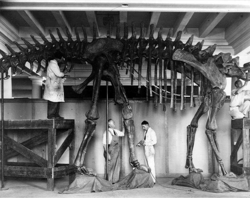 Men assemble the fossil of a Diplodocus gastralia for an exhibit at the Denver Museum of Natural History in 1935.Chief preparer Phillip H. REinheimer is in coveralls, while R.L. Landberg is crouched on the scaffolding. (Western History & Genealogy Dept./Denver Public Library/X-28790)